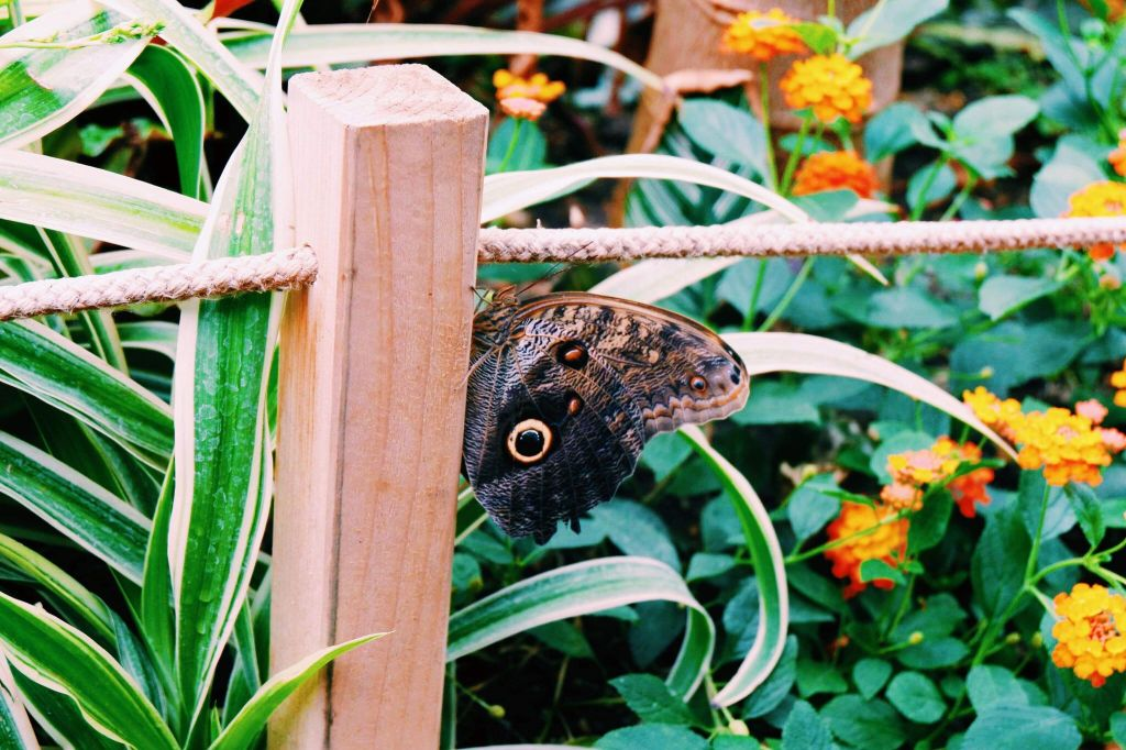 Brown butterfly with yellow and black dot that looks like an owl's eye on a post in the horseman museum and gardens