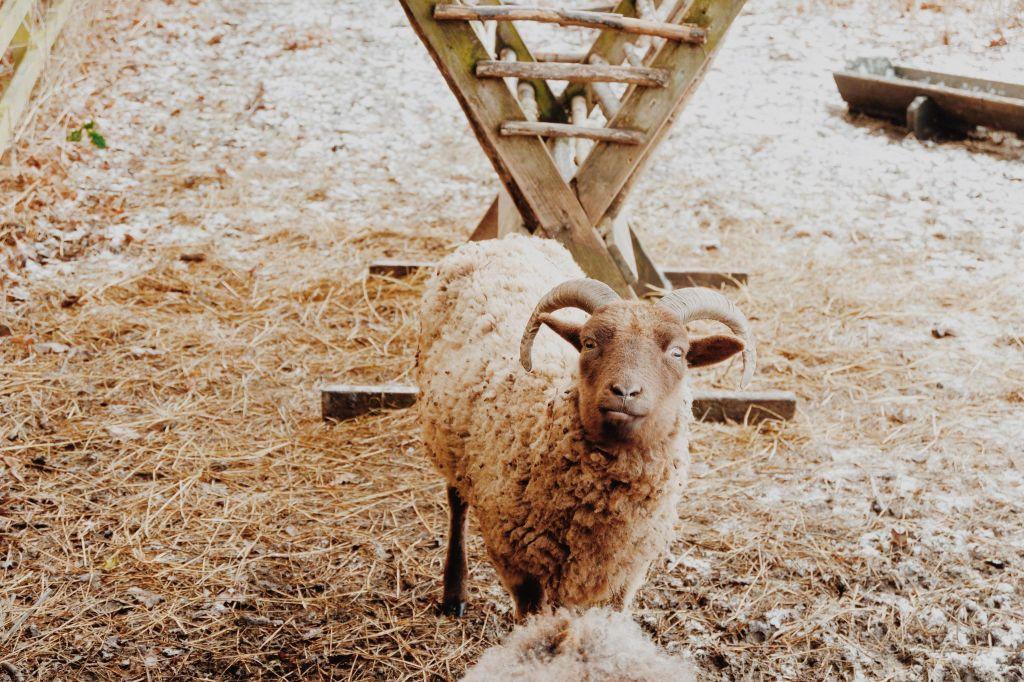 A sheep in the Durham botanic garden